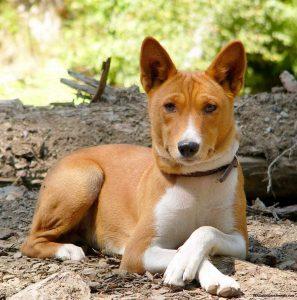Басéнджи или африканская нелающая собака