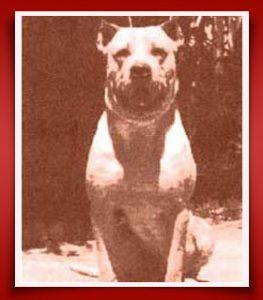 Бойцовская собака кордобы