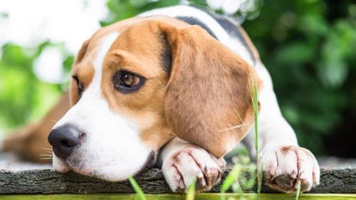 1480697174 beagle-dog