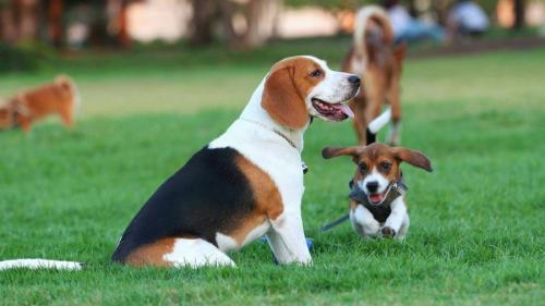 1480697271 beagle-dog-photo-1